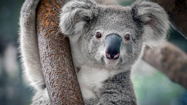 Hol őshonos a koala?