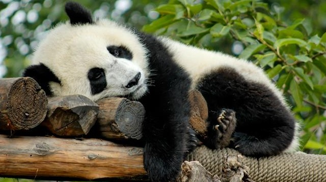 Hol élnek pandák?