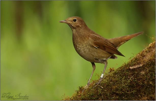 Mi a fülemüle madár másik neve?