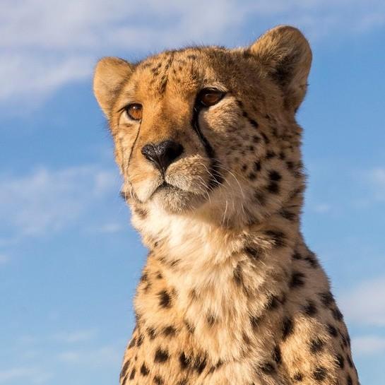 Ez egy leopárd?