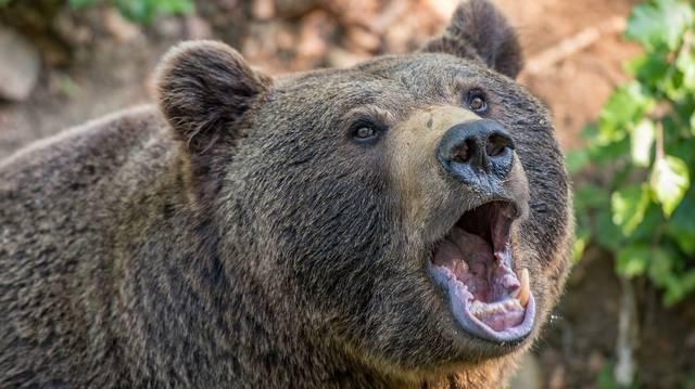 Európában hol fordul elő nagyobb számban barna medve az alábbiak közül?
