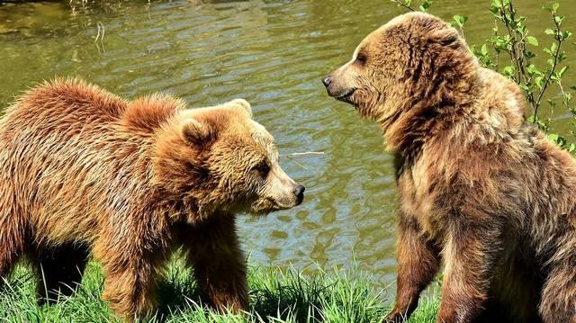 Körülbelül milyen hosszú a barna medve teste?