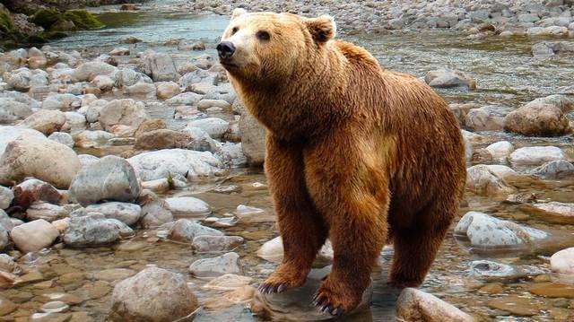 Mivel táplálkozik az európai barna medve?