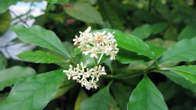 Brazil növény, magyarul: útszéli hánytatógyökér.