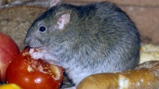 Ez a patkány lesz. Őt annyira nem szeretjük, ugye?