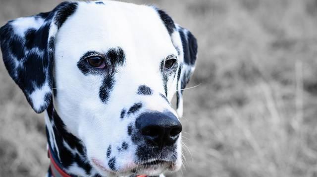Ősi horvát kutyafajta a dalmata. De melyik ország egyik régiója Dalmácia?
