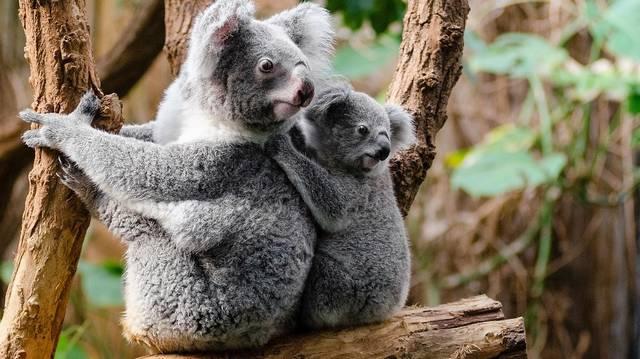 Melyik igaz a koalára?