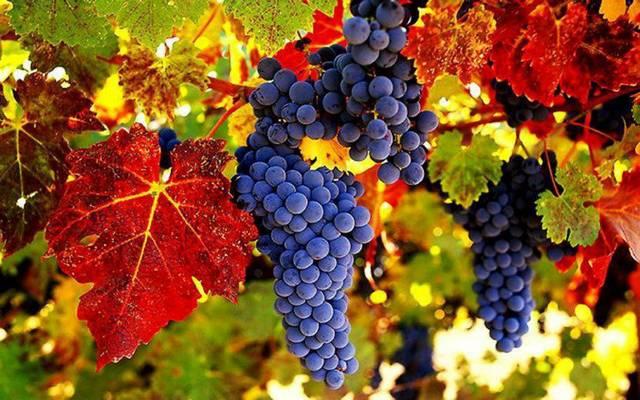 Hogy mondják angolul: szőlő?