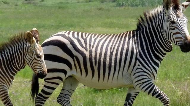 Tudjuk, hogy a zebra fekete és fehér színű. Na de melyik az állat alapszíne? Ha nem tudod, használd a logikád!