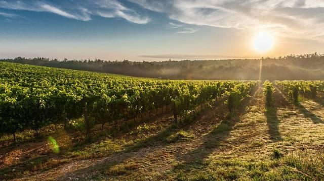 Hány évig él a szőlőtőke?