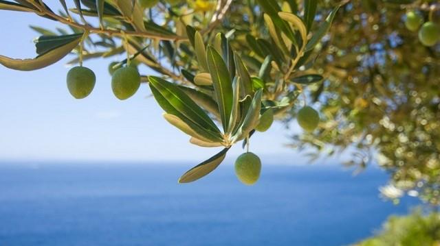 Létezik zöld és sötétlilás(fekete) olívabogyó. Mi a különbség vagy ugyanarról a gyümölcsről beszélünk?