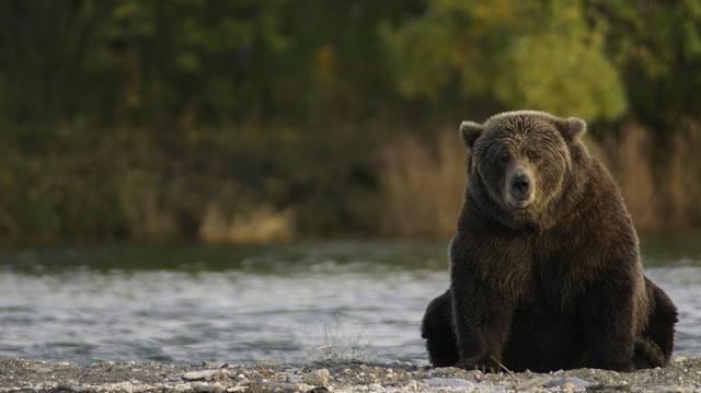 Melyik az a medvefaj, amelyik gyakran felbukkan lakott területeken Erdélyben?