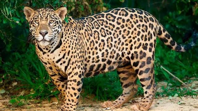 Leopárd vagy jaguár, esetleg gepárd?