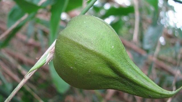 A Melocanna baccifera nevű bambuszfaj 48 évenkénti termése melyik állatfaj invázióját szabadítja Indiára?