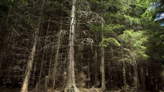 Melyik fafélével váltja ki a papíripar világszerte a lassan növő, de gyorsan fogyatkozó fenyőfákat?