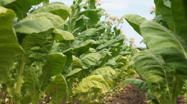 Mit fedezett fel Dmitrij Ivanovszkij 1892-ben, amikor a dohány növényt vizsgálta?
