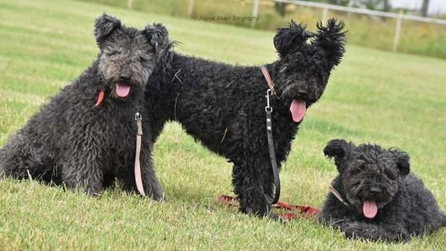 Őshonos kutyafajtánk, egyik legismertebb terelőkutyánk, nemzeti örökségünk része. Közepesnél kisebb méretű, kiváló kísérő- és sportkutya, energiája kimeríthetetlen. Melyik ez a kutyafajta?