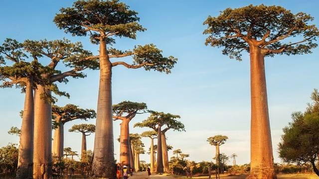 Afrika szent faként számon tartott, nagy tiszteletnek örvendő őshonos növénye, amit az élet fájának is neveznek. Akár 1000 évig is élhet, magassága 25 m, lombkoronája 20 m széles is lehet.