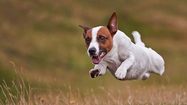 A második leggyorsabb szárazföldi állat?