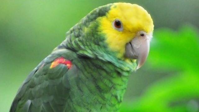 Az állatok melyik osztályába tartoznak az amazon-félék?