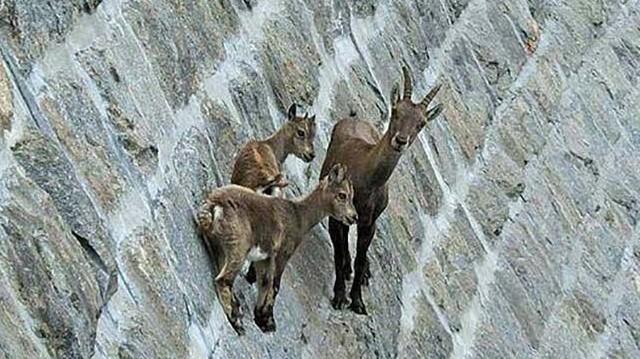Miért másznak fel időnként a kőszáli kecskék meredek szikla- és kőfalakra és töltenek ott órákat?