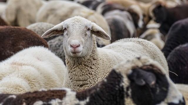 Együtt legelő juhok v. kecskék csoportja.